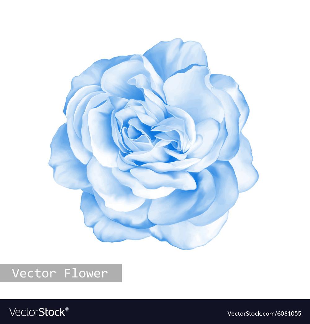Beautiful Light Blue Bedrooms: Light Blue Rose Flower Royalty Free Vector Image