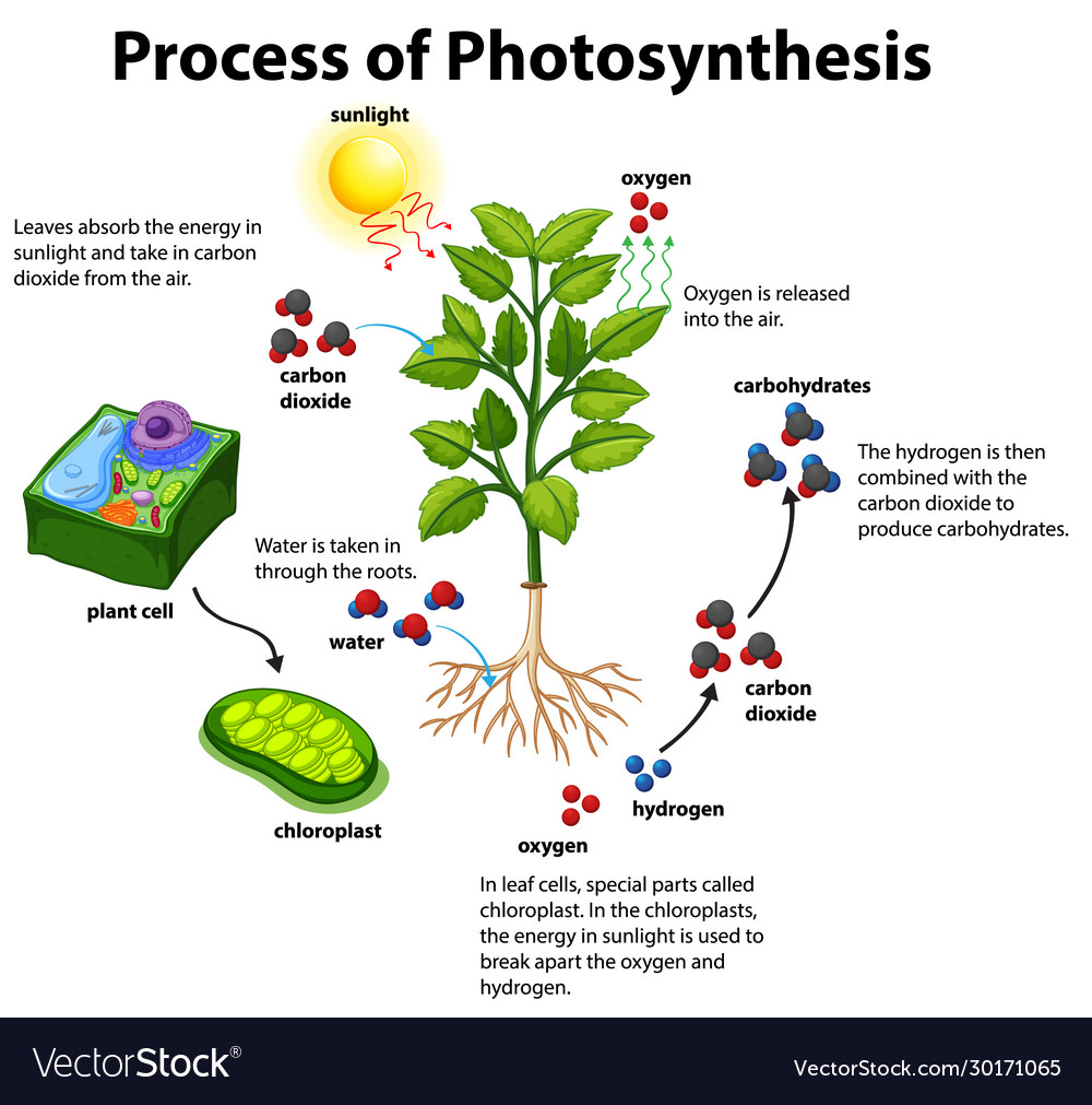 Diagram Showing Process Photosynthesis Royalty Free Vector Photosynthesis, the process by which green plants and certain other organisms transform light during photosynthesis in green plants, light energy is captured and used to convert water, carbon. vectorstock
