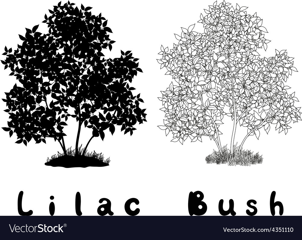 Lilac Bush Contours Silhouette and Inscriptions vector image