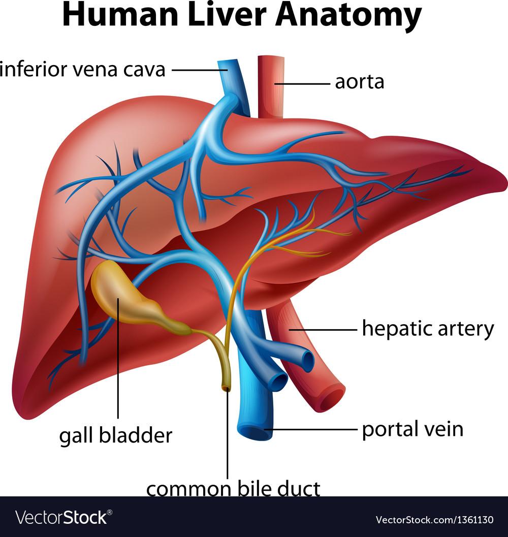 Human Liver Anatomy Royalty Free Vector Image - VectorStock