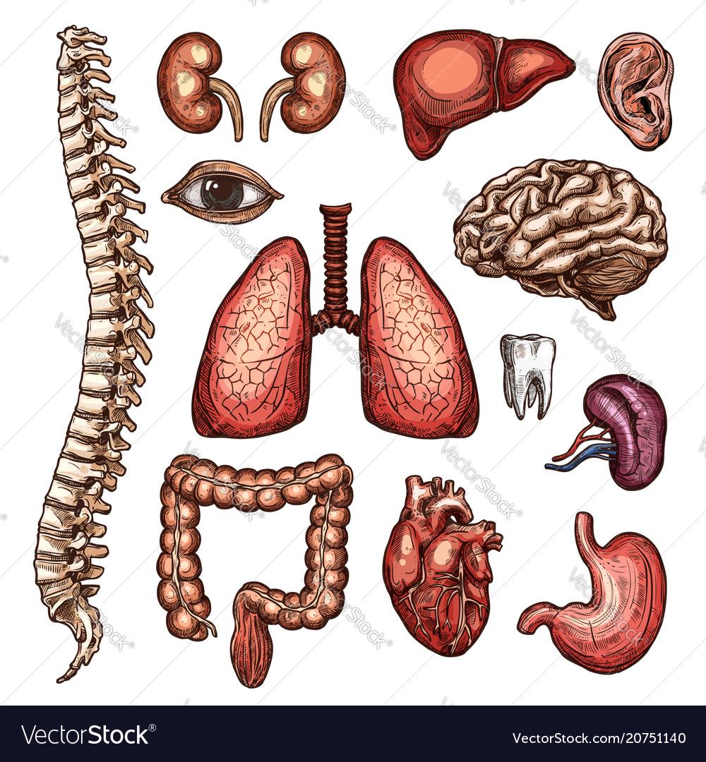 Organ Bone And Body Part Sketch Of Human Anatomy Vector Image