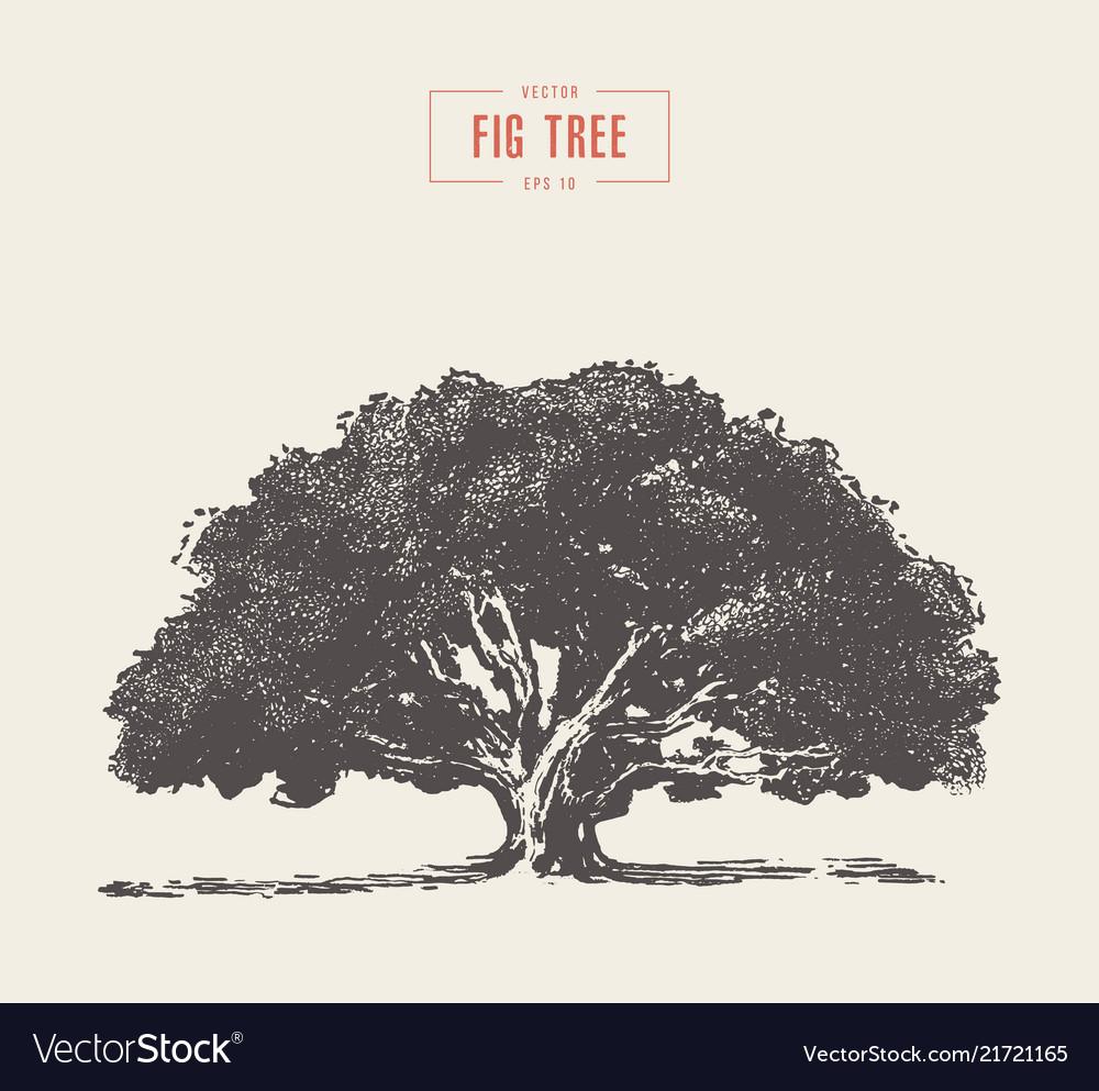 High detail vintage fig tree hand drawn