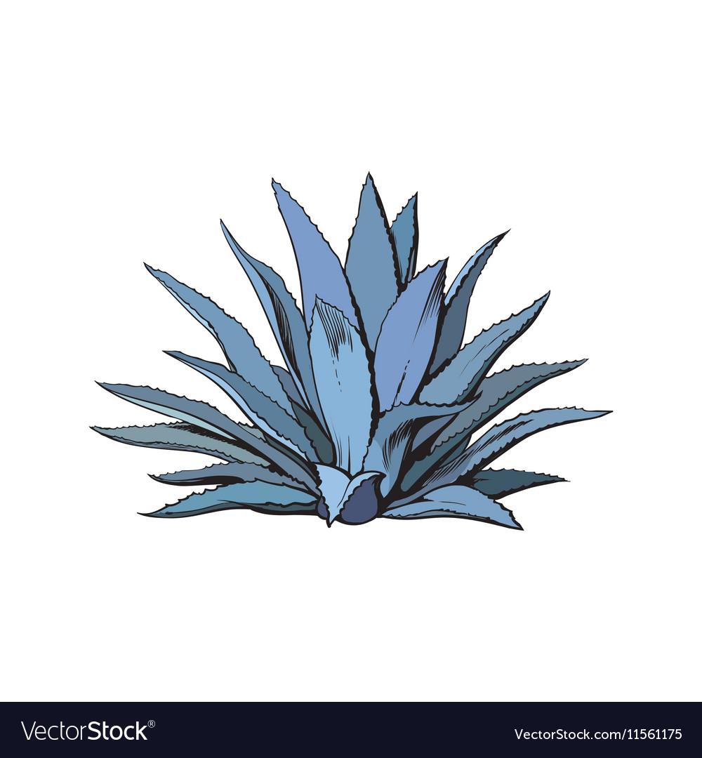 Hand drawn blue agave main teq...