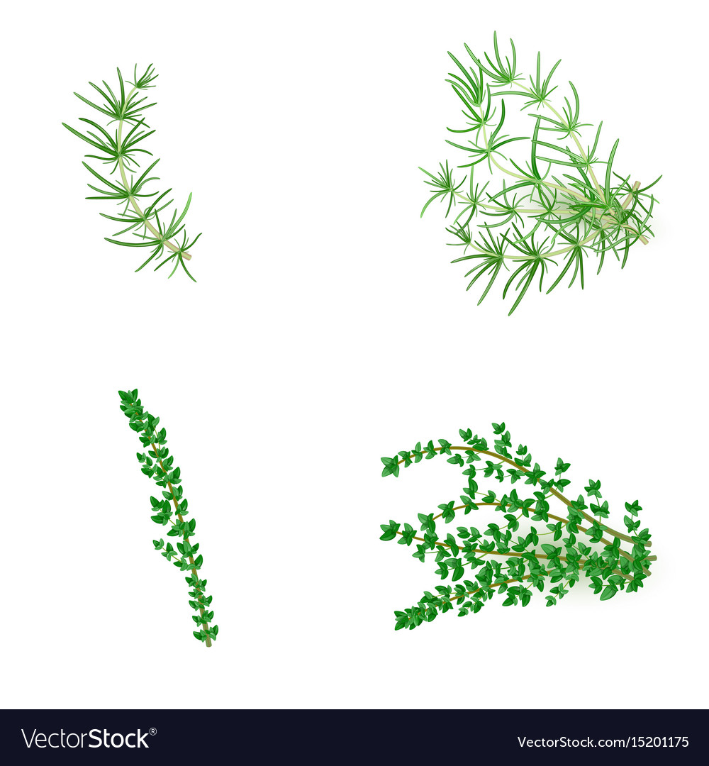Set of rosemary and thyme in realistic style