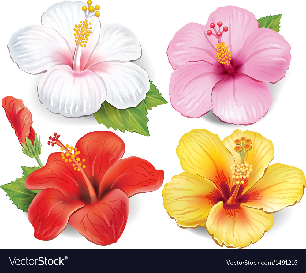 Set of Hibiscus vector image