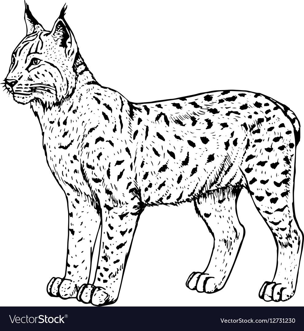 Hand drawn lynx