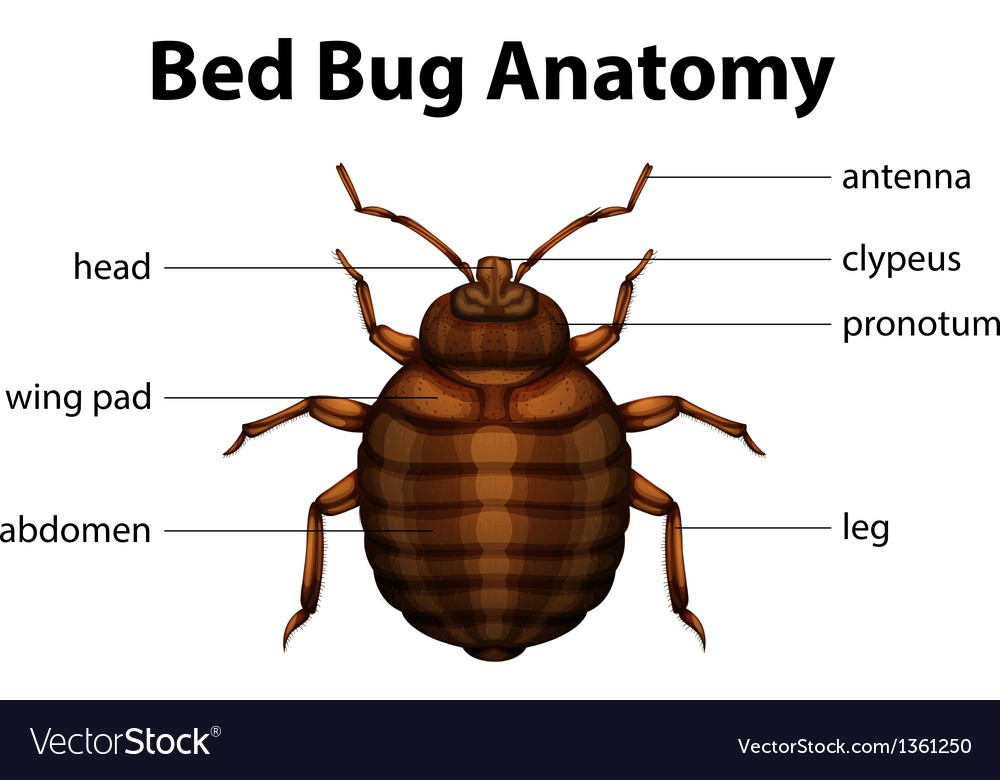 Bed Bug Anatomy Royalty Free Vector Image Vectorstock