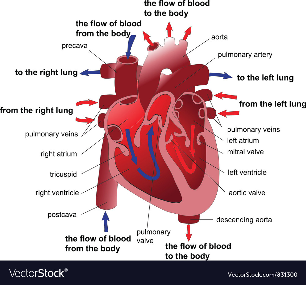 Heart section vector image