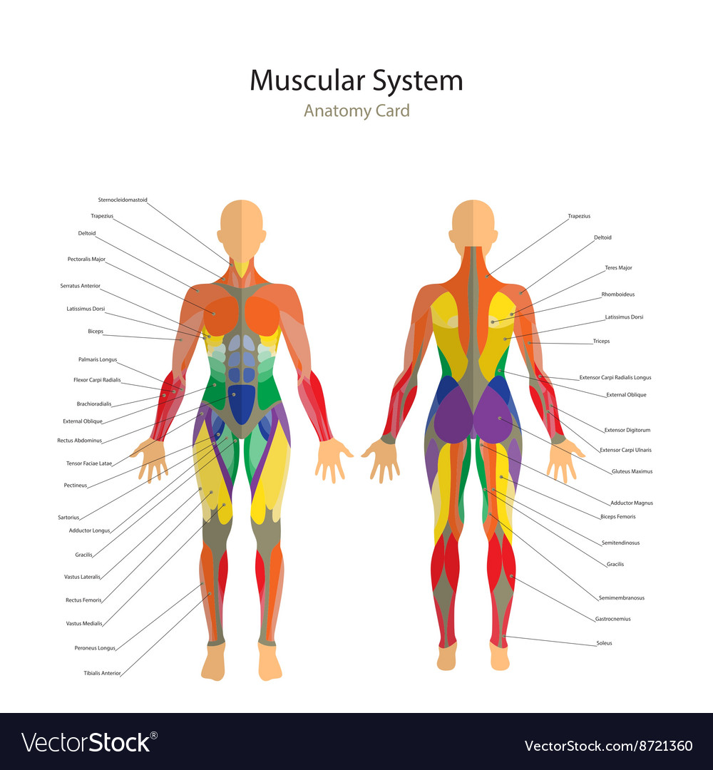Human muscles The female body vector image on VectorStock