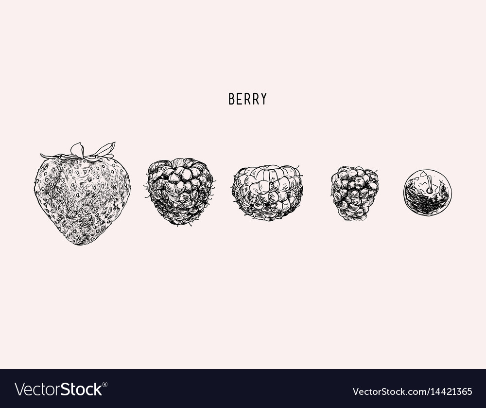 Berries hand drawn