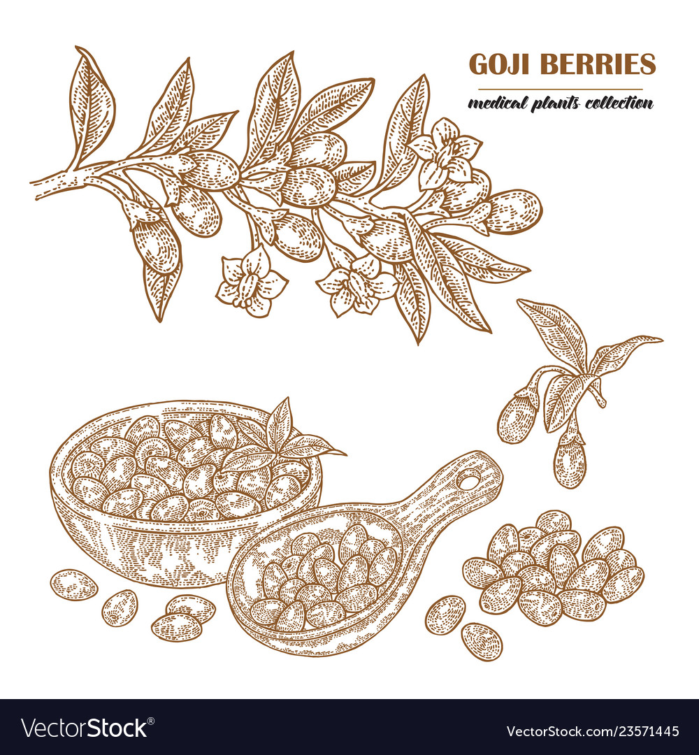 Goji berries on a branch hand drawn medical plant