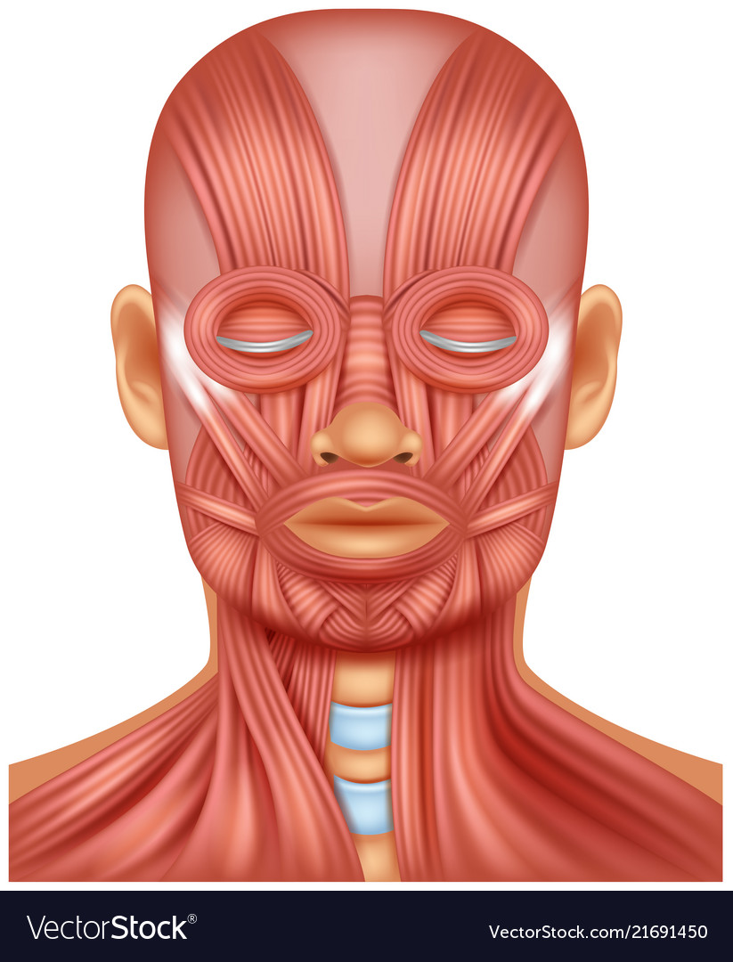 Human Head Muscle On White Royalty Free Vector Image