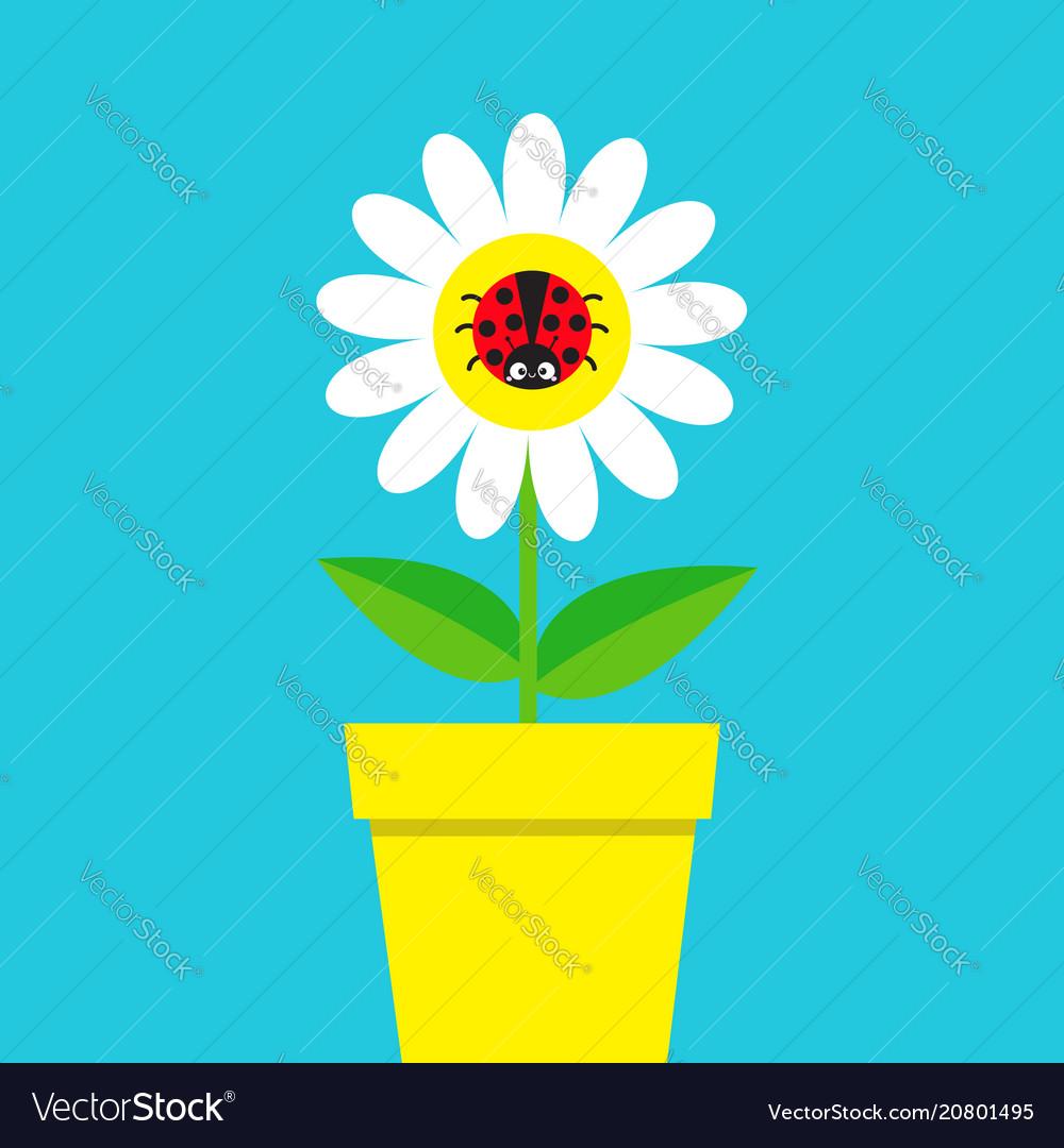 Ladybird ladybug insect sitting on white daisy