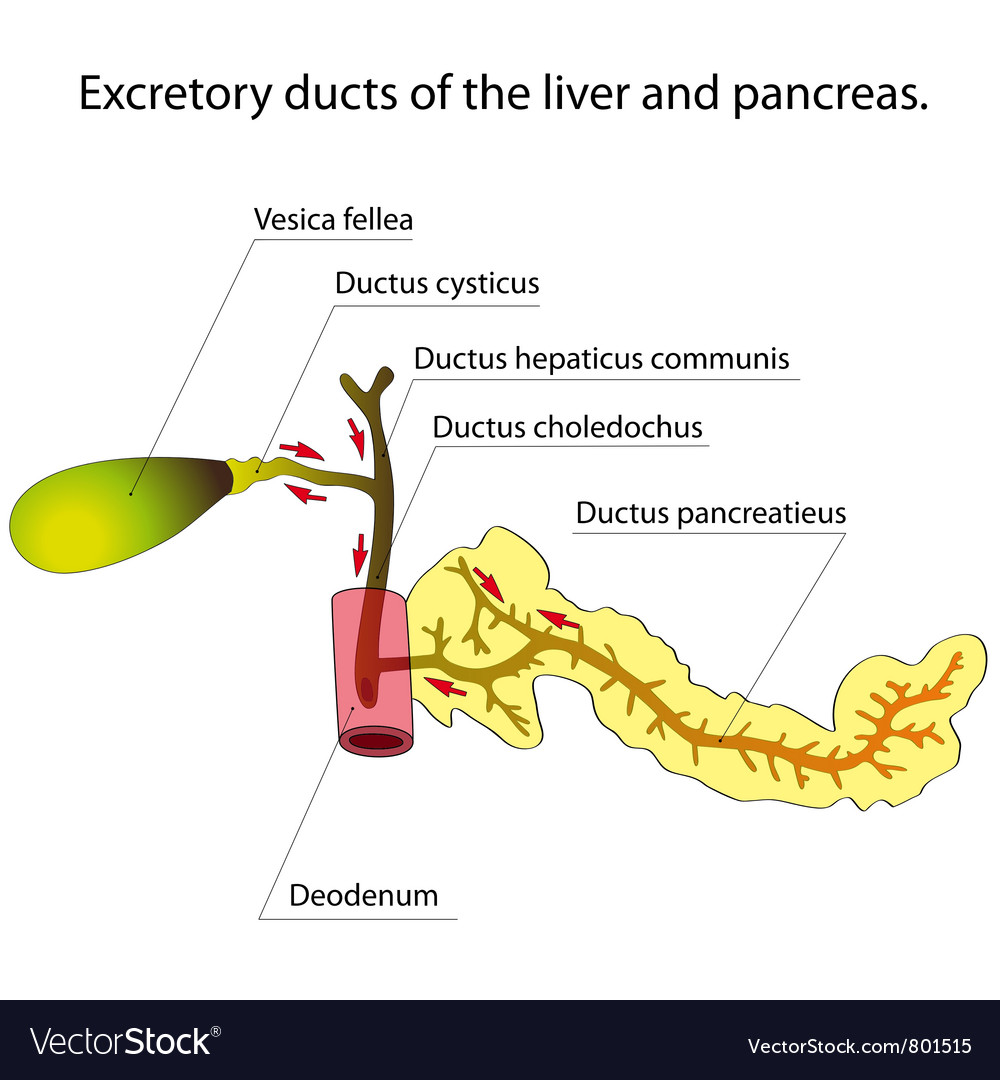 Pancreas And Gallbladder Royalty Free Vector Image