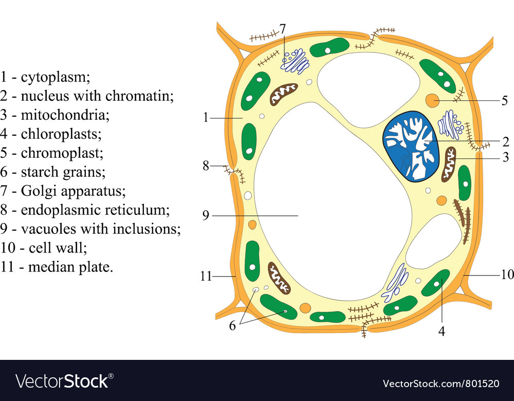 Scheme of structure of the plant cell poster vector image
