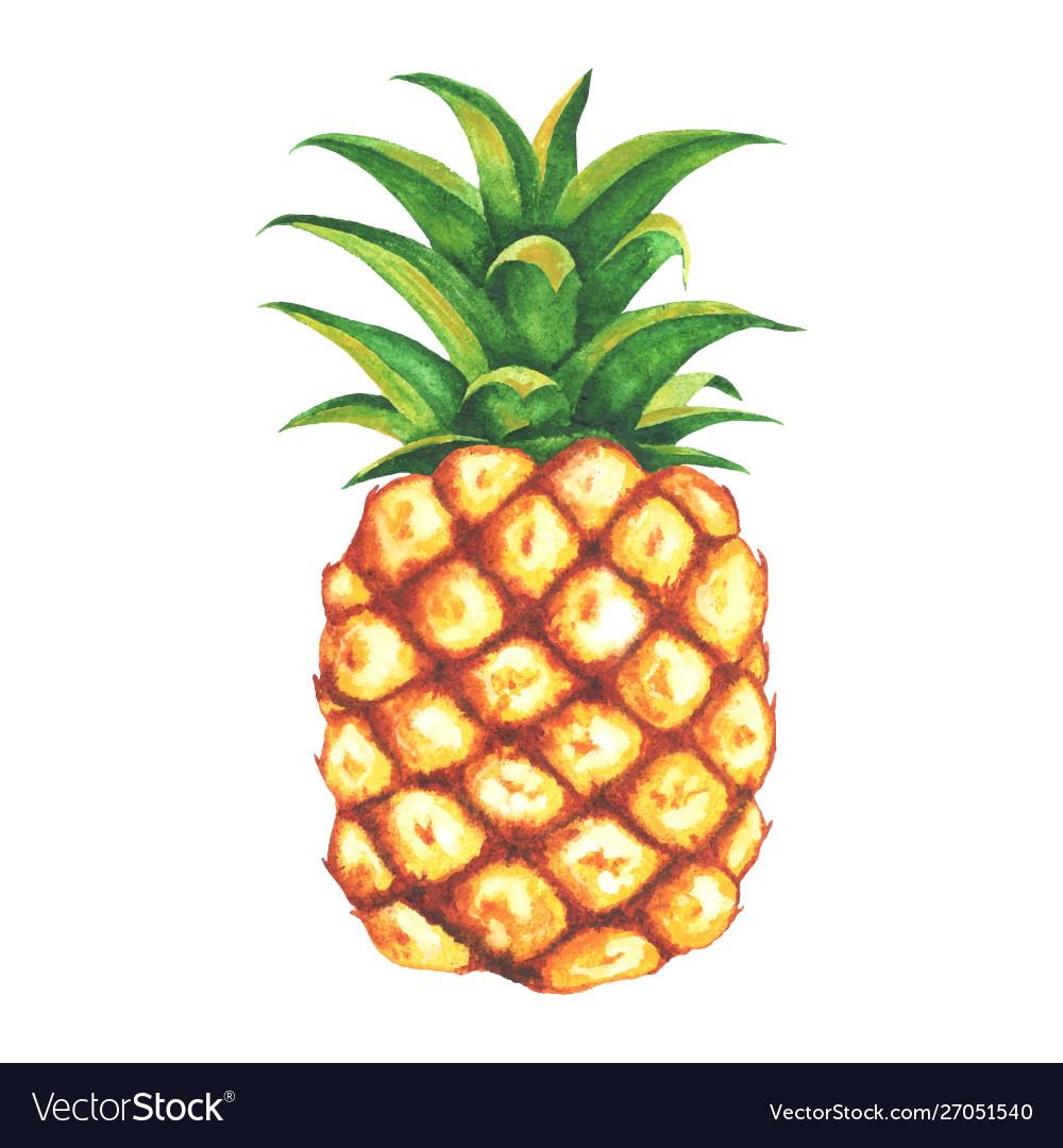 Beautiful watercolor pineapple clip art Royalty Free Vector