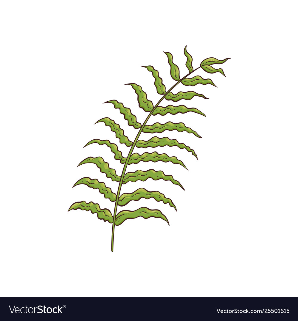 Green tropical palm leaf drawing isolated on white