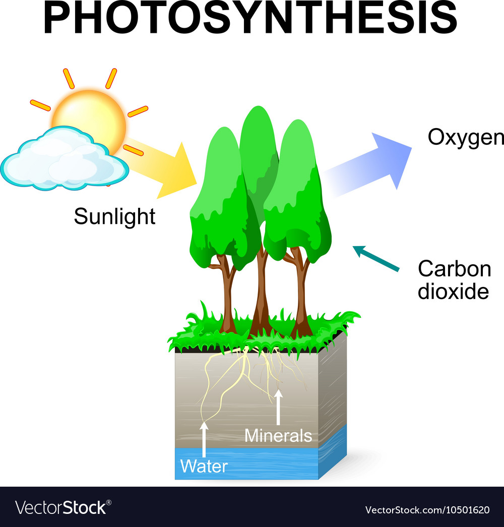 photosynthesis Tree Anatomy Diagram
