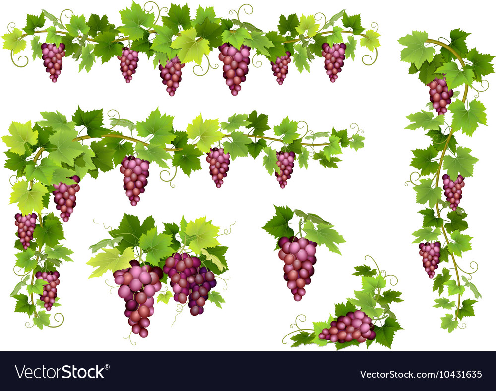 Set of bunches red grapes