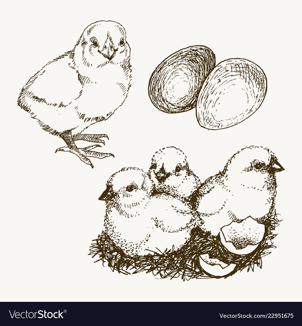 Chick breeding hand drawn set engraved