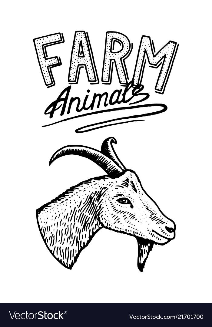 Farm animal head of a domestic goat logo