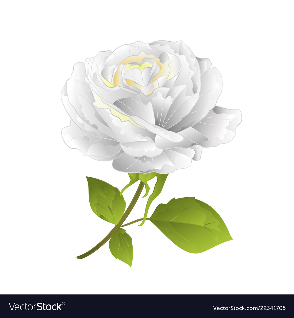 Flower white rose on a white background twig