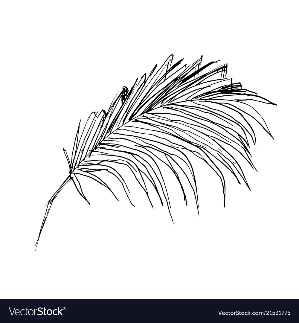 Coconut palm sketch or queen palmae leaves