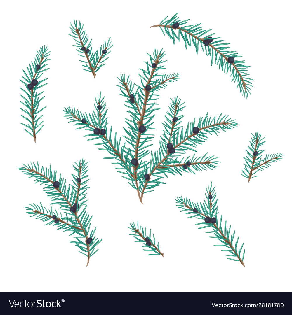 Juniper branches with berries set