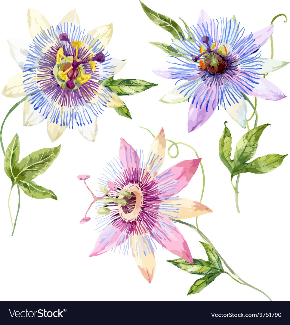 Watercolor Passion Flower Royalty Free Vector Image