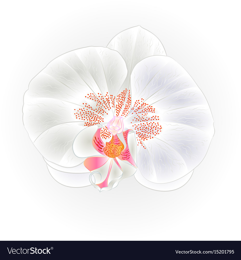 Beautiful White Orchid Flower Phalaenopsis Vector Image