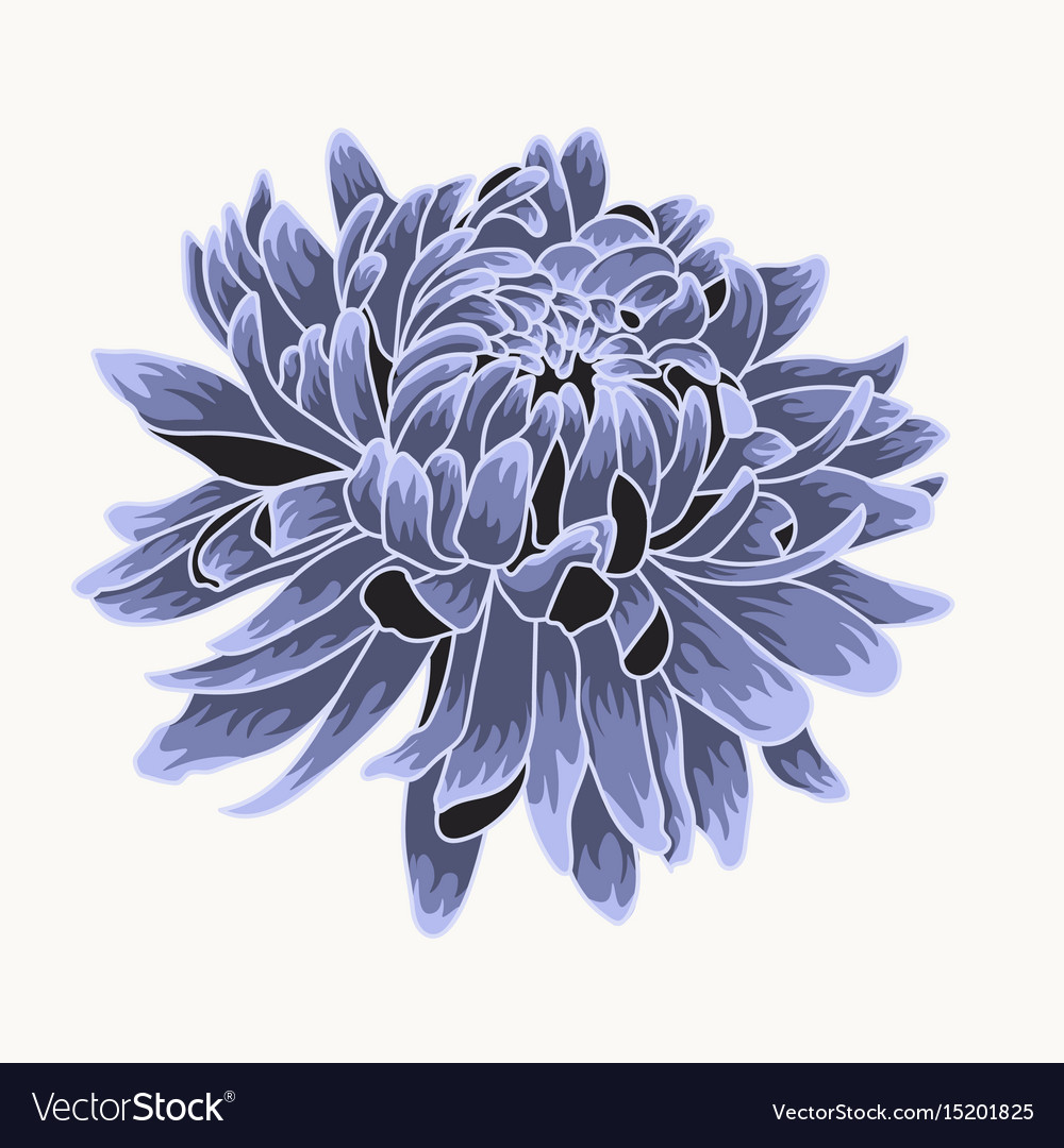 Colored and lined chrysanthemum flower vector image
