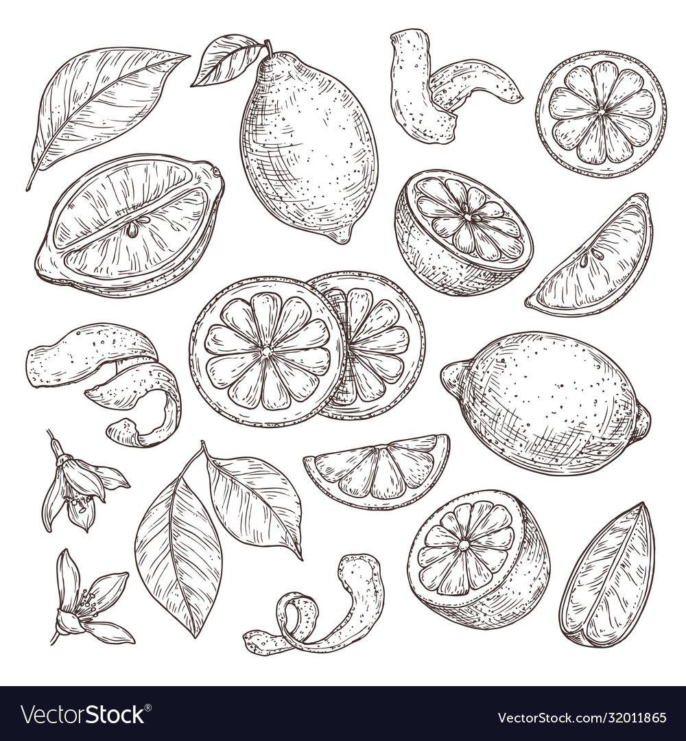 Lemon sketch hand drawn oranges lime pencil