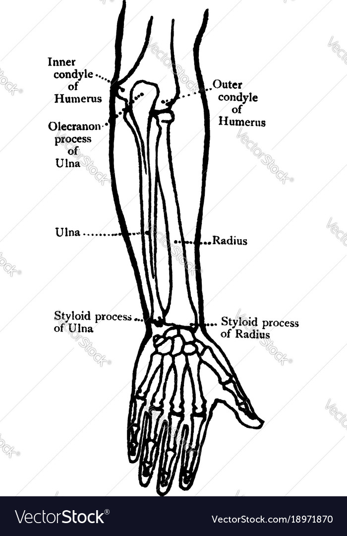 Back view of the bones of the forearm vintage Vector Image