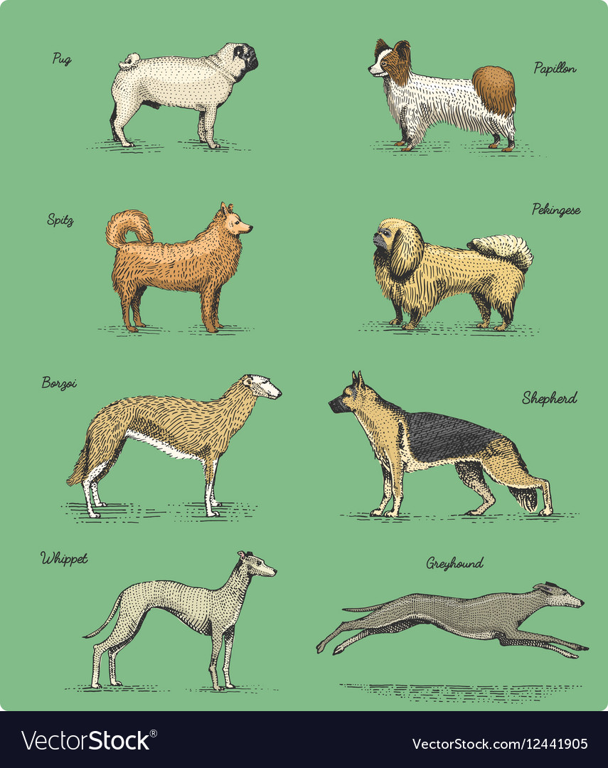 Dog breeds engraved hand drawn