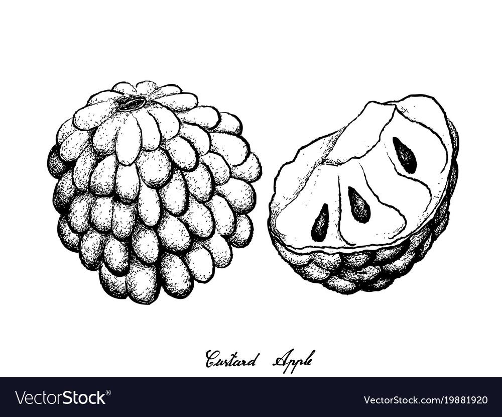 Hand Drawn Of Ripe Custard Apple On White Backgrou Vector Image