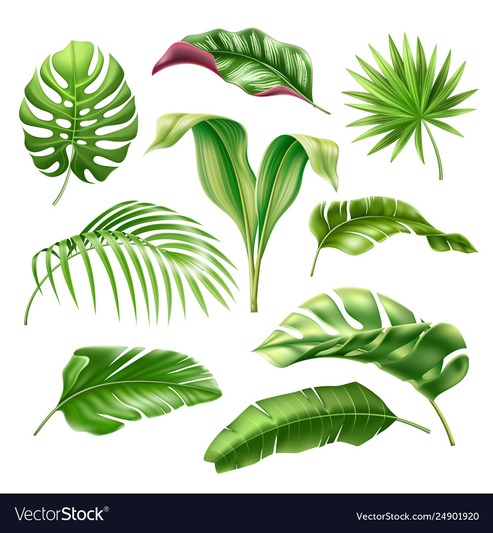 Tropical Leaves Realistic Monstera Palm Set Vector Image Sort by popularity sort by average rating sort by latest sort by price: vectorstock