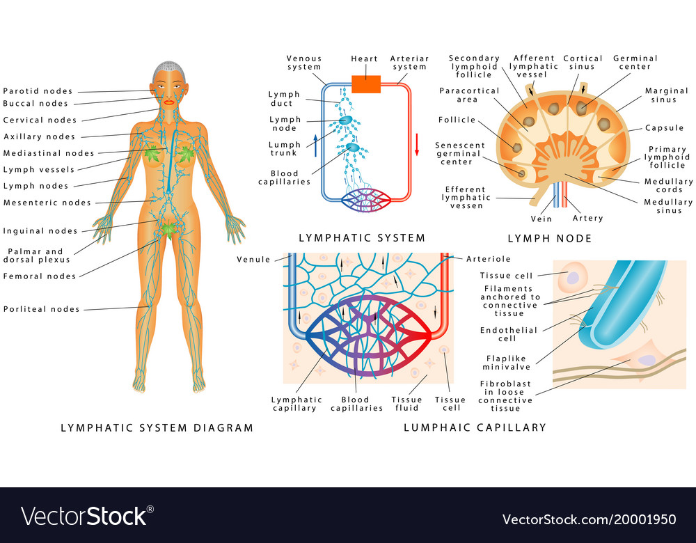 Lymphatic System Royalty Free Vector Image Vectorstock