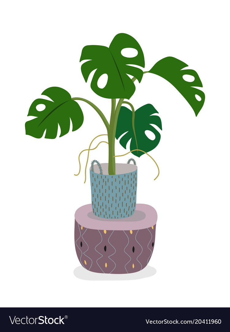 A potted monstera plant isolated on white a green