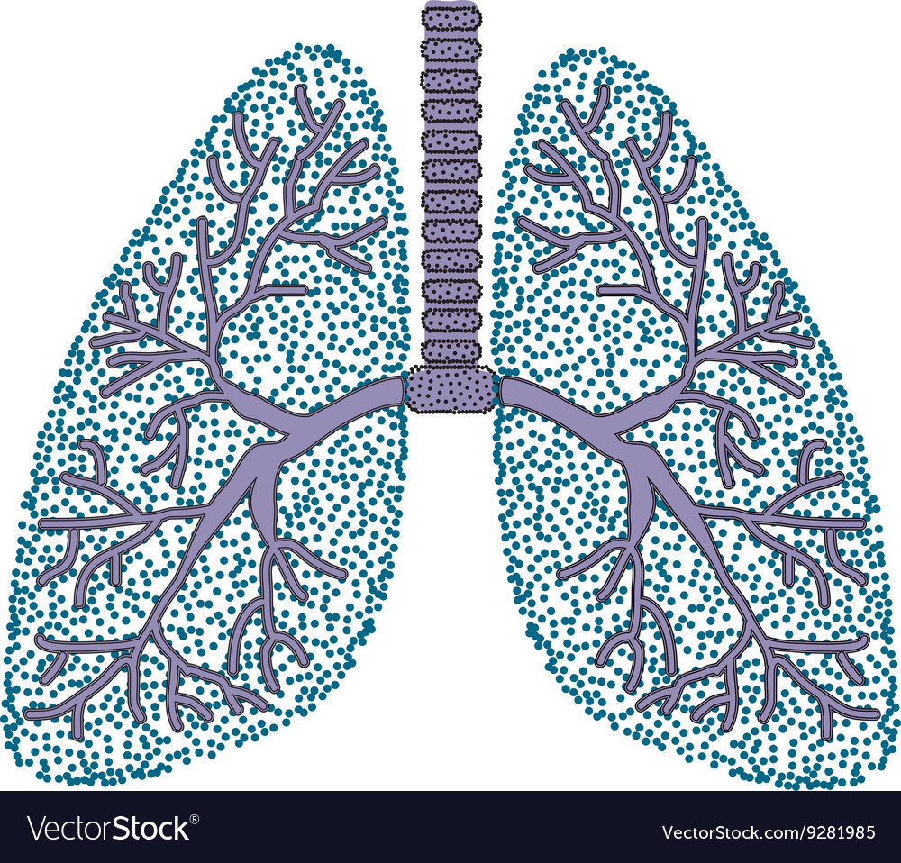 Lungs The Structure Of The Human Lung Royalty Free Vector