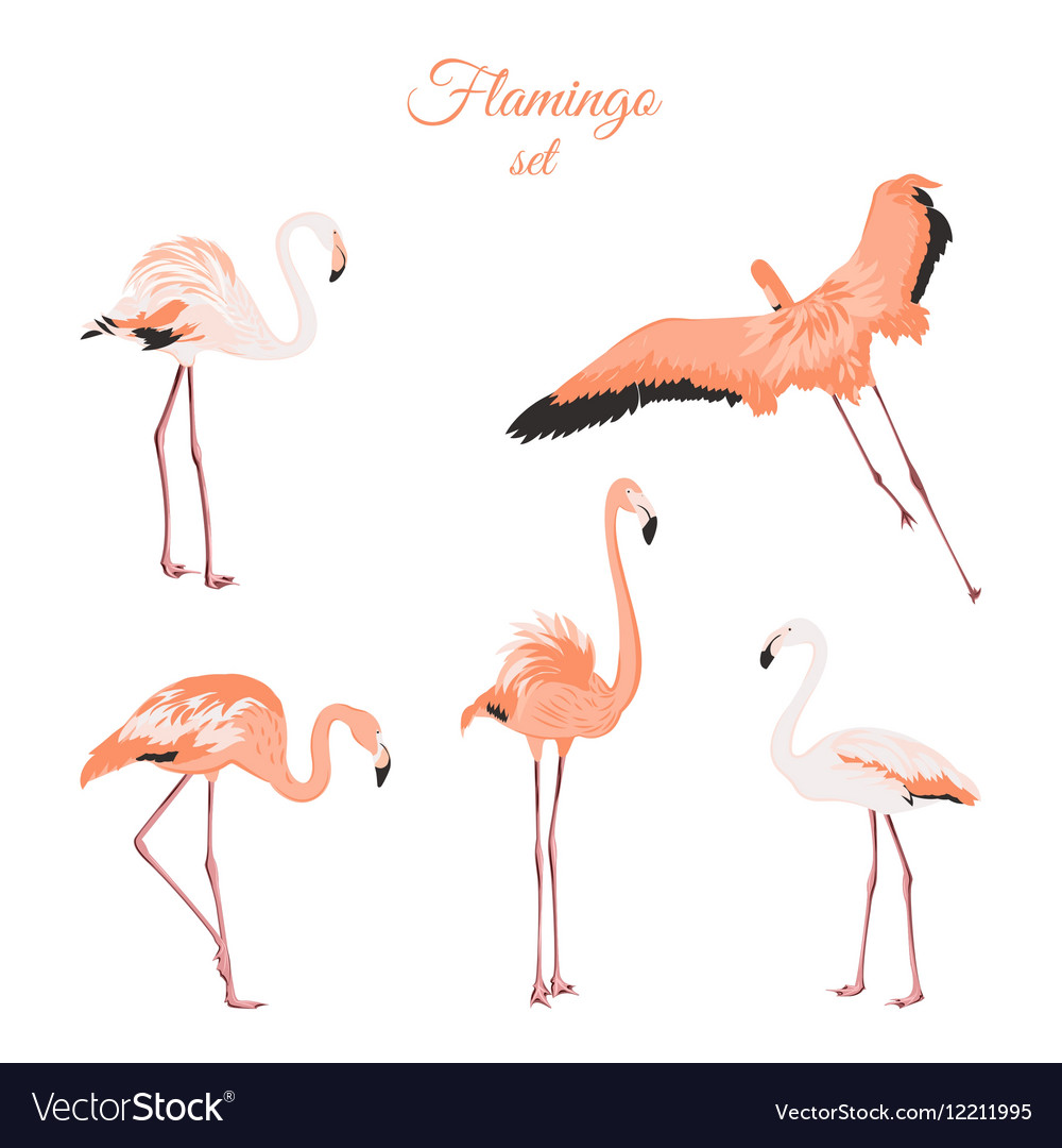 Set of isolated pink flamingos on white background