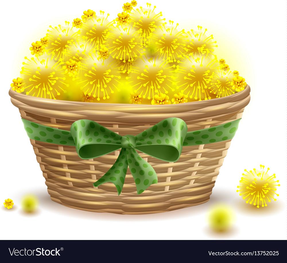 Yellow Mimosa Flowers Full Wicker Basket Vector Image