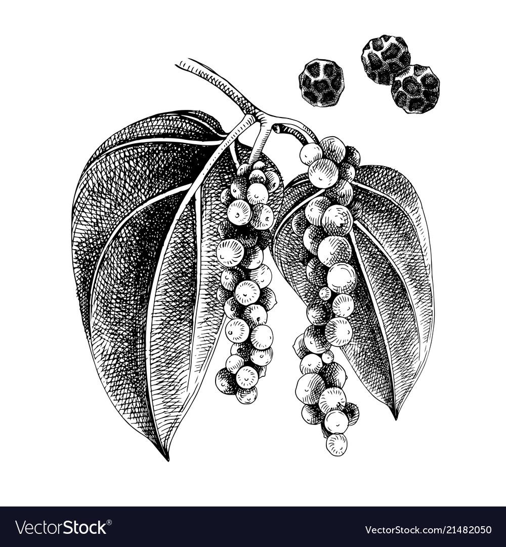 Hand drawn black pepper plant