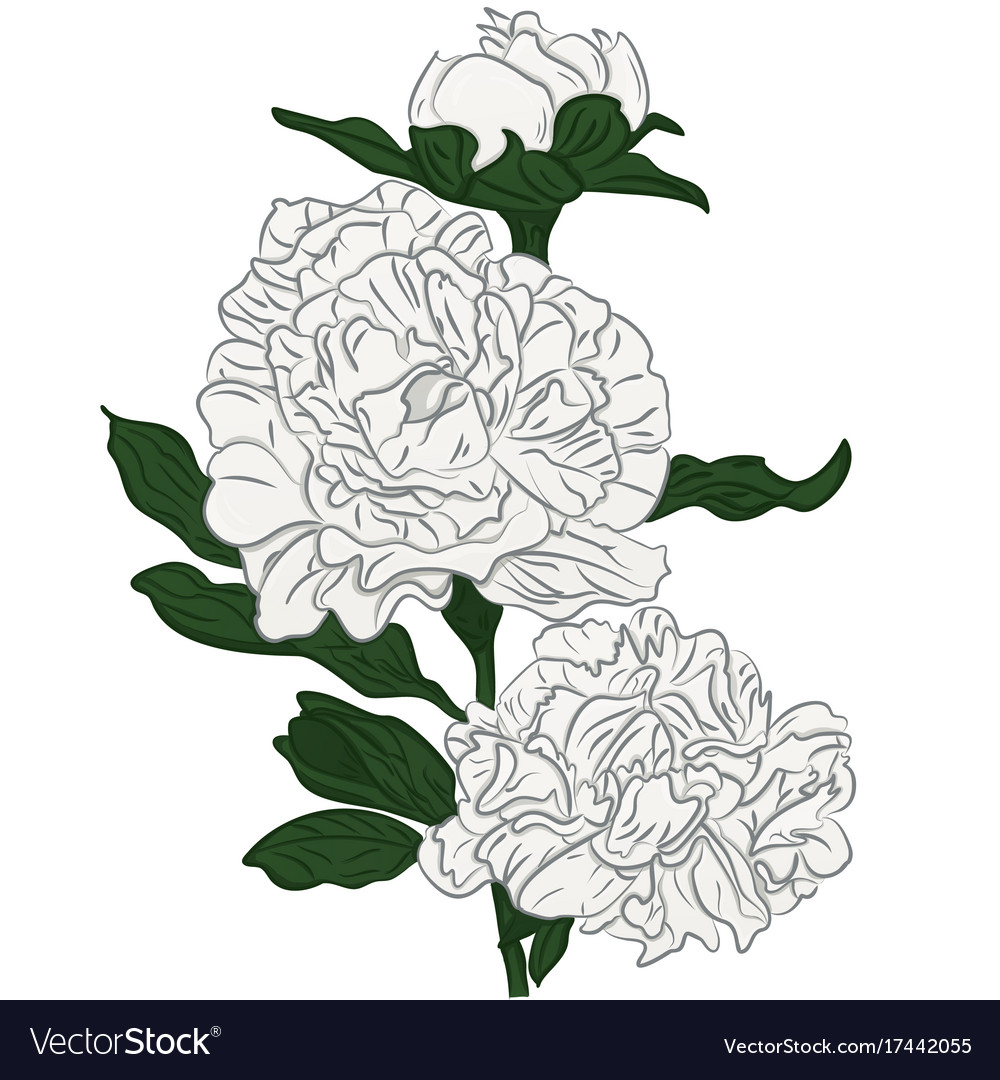 Beautiful cartoon white peonies flower isolated vector image mightylinksfo