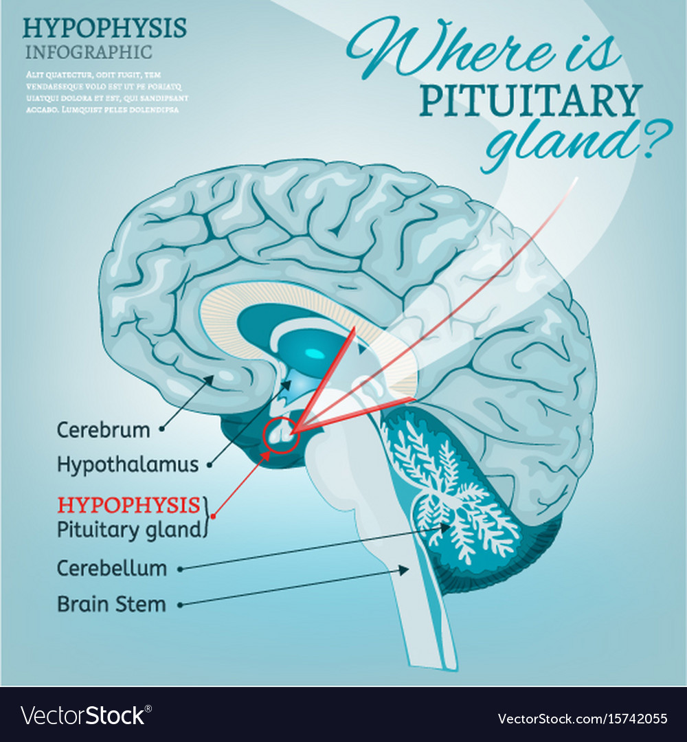 Pituitary Gland Royalty Free Vector Image Vectorstock