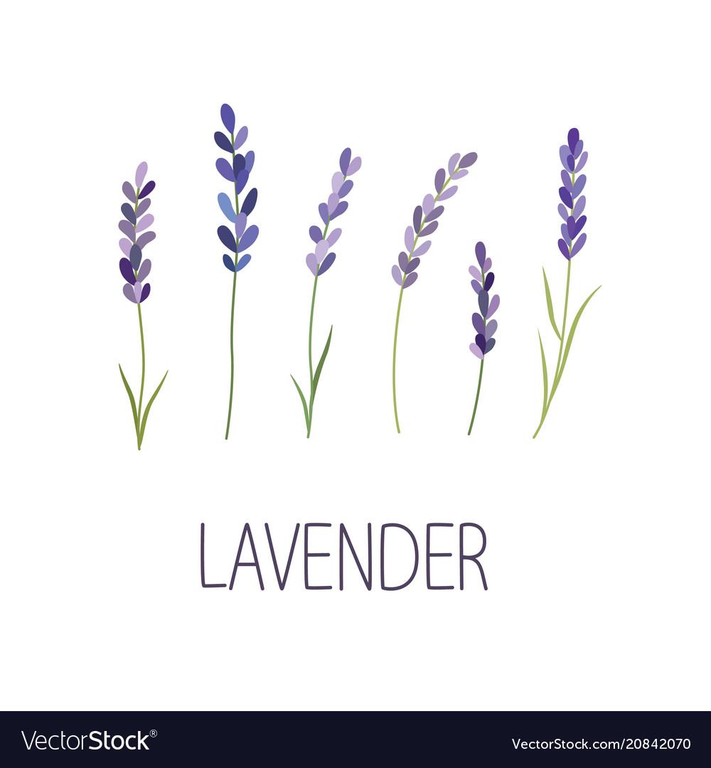Lavender flower designer for design logo