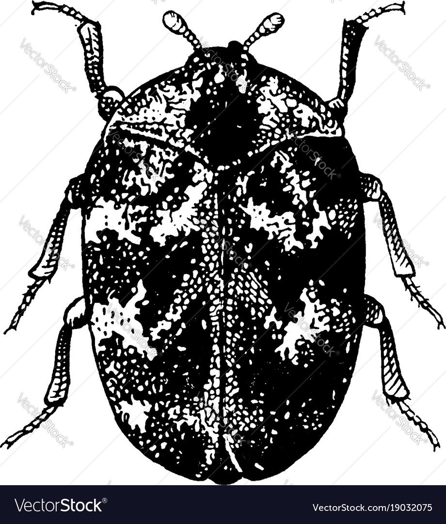 Adult common carpet beetle vintage vector image