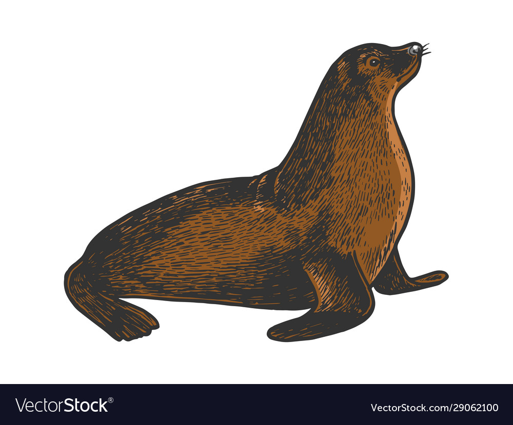 Sea lion animal sketch engraving