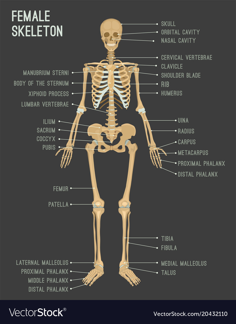 Female Skeleton Image Royalty Free Vector Image