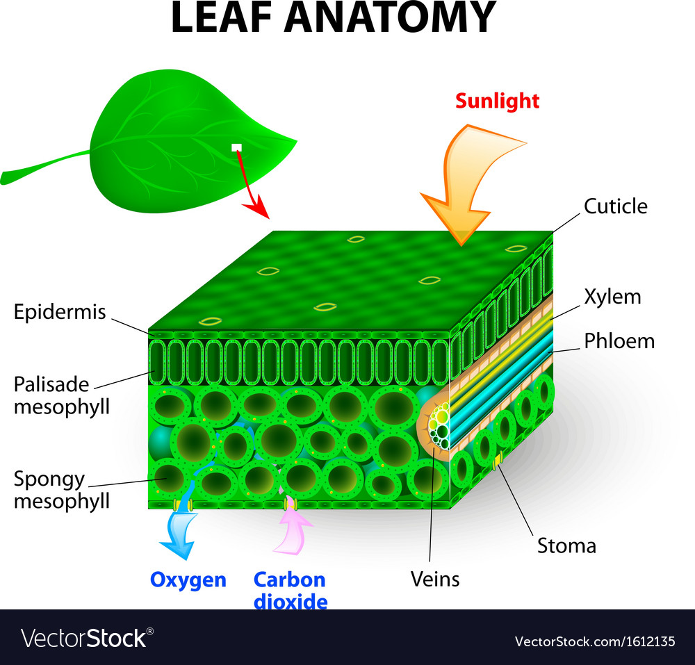 leaf anatomy - Yeni.mescale.co