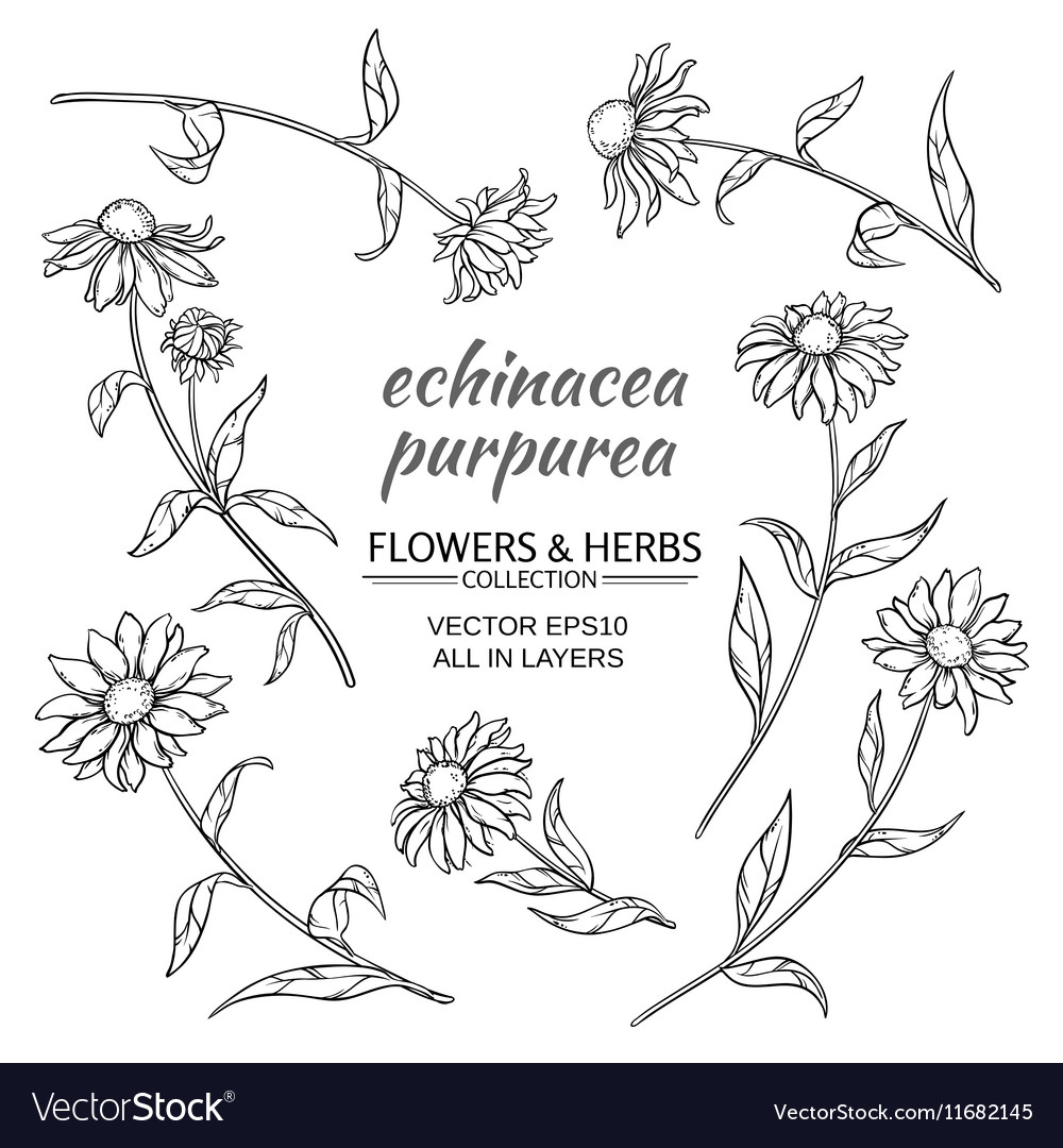 Echinacea purpurea set